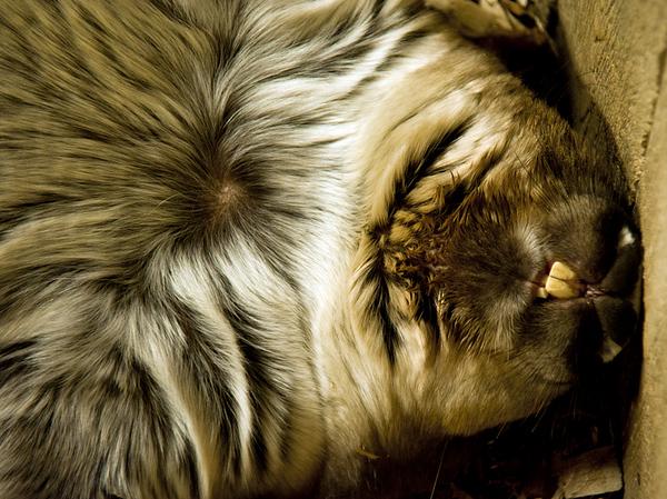 DSC_4546 Brookfield Zoo Sleeping Wombat ss70-3 ALA PS-.jpg