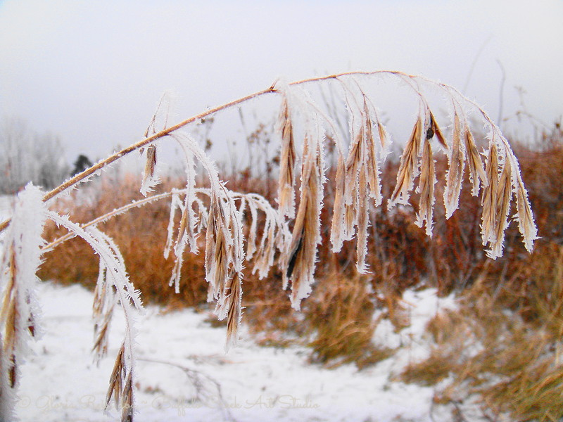 grass seed head in frost