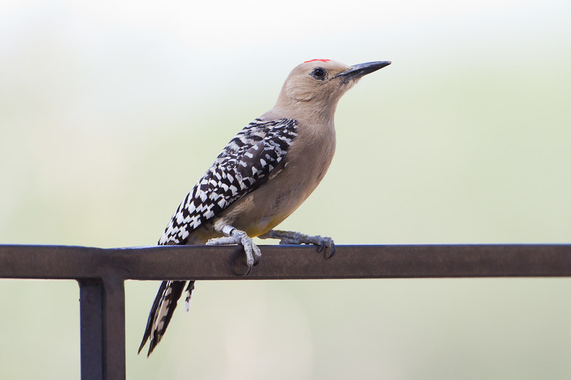 Gila Woodpecker - San Pedro House, Sierra Vista, AZ, USA