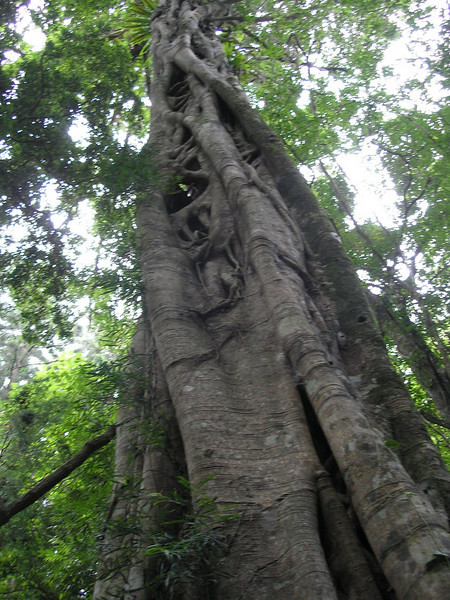 Tree at Natural Bridge