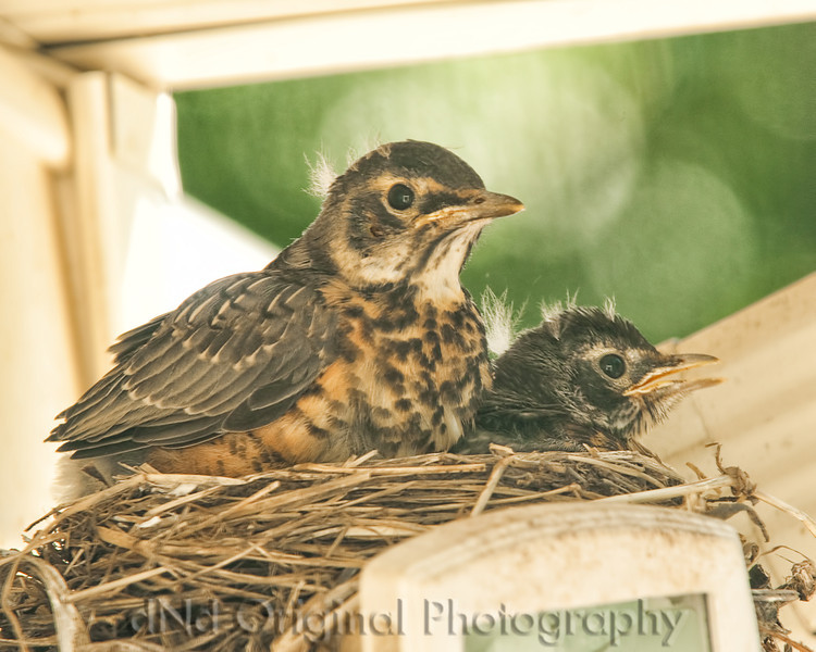 080 Baby Robins Spring 2013.jpg