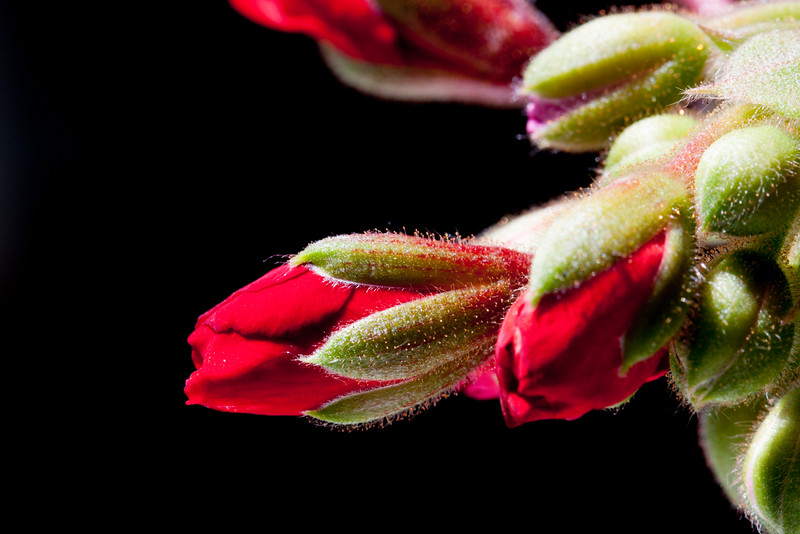 red geranium buds