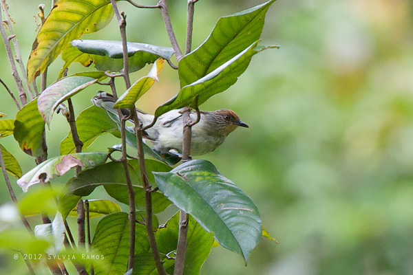 Rusty-crowned Babbler
