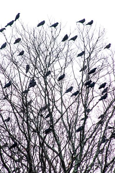 crows3.jpg