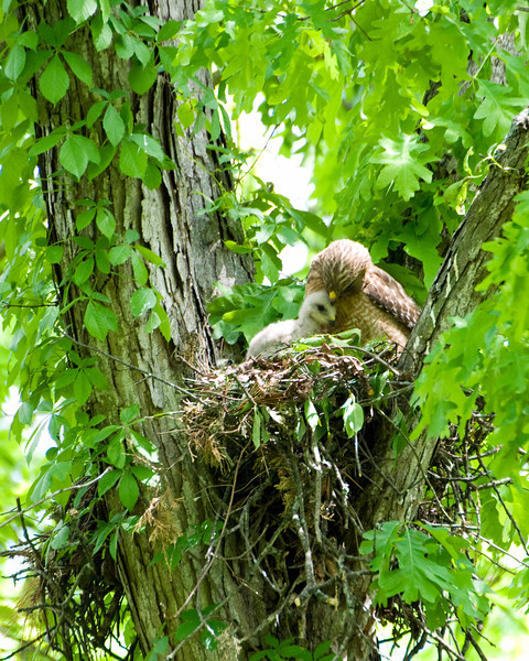 2010 Red Shouldered Hawk Nest 8045