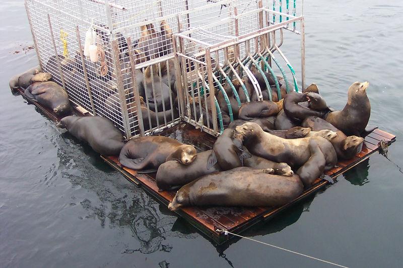a raft full of seals.jpg
