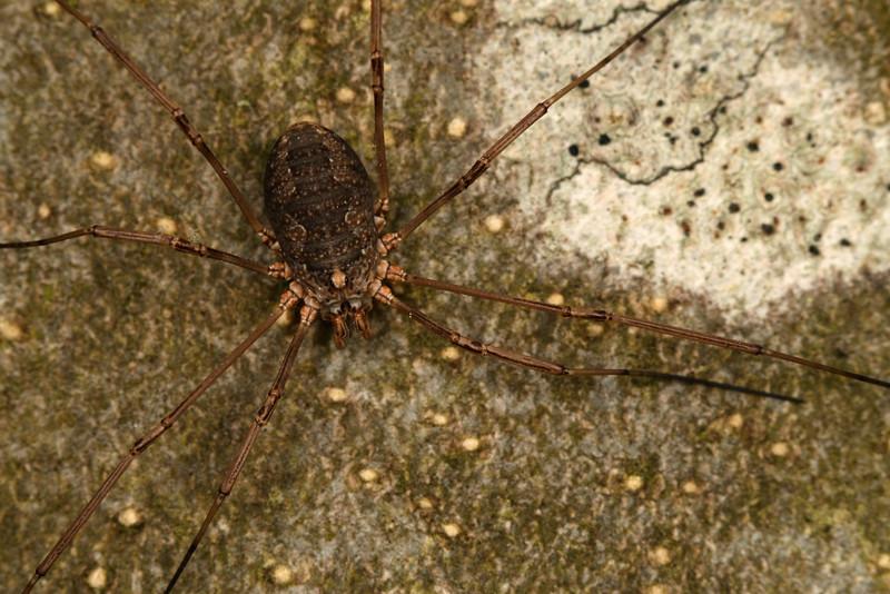 4310_phalangiidae.jpg