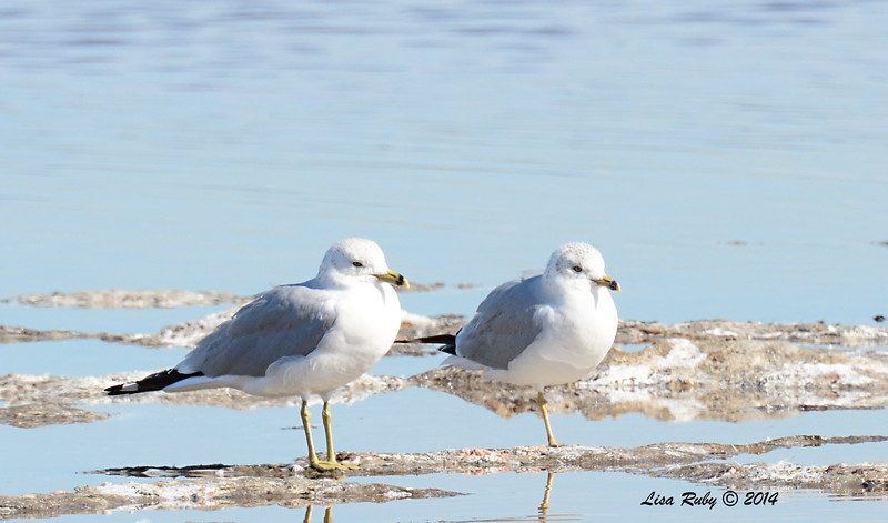 Ring-billed Gulls - 1/18/2014 - Salt Works