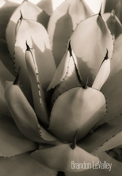 AGAVE VIIII INFRARED TINTED III (1 of 1).jpg