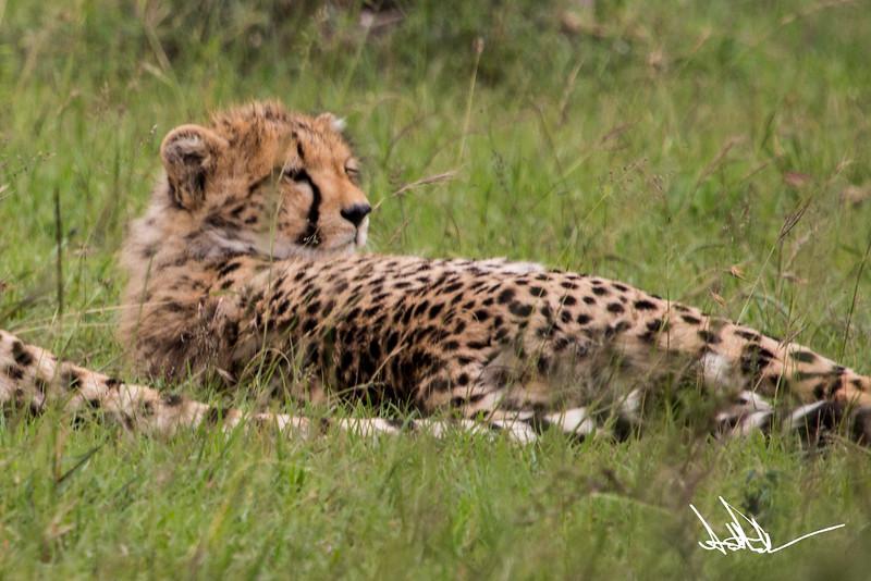 CheetahS-9.jpg