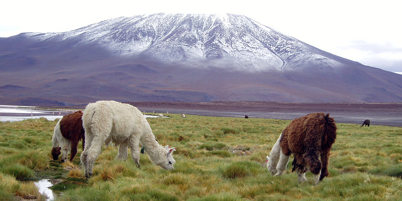 llamas-in-bolivia-snowy mountain-in-background.jpg