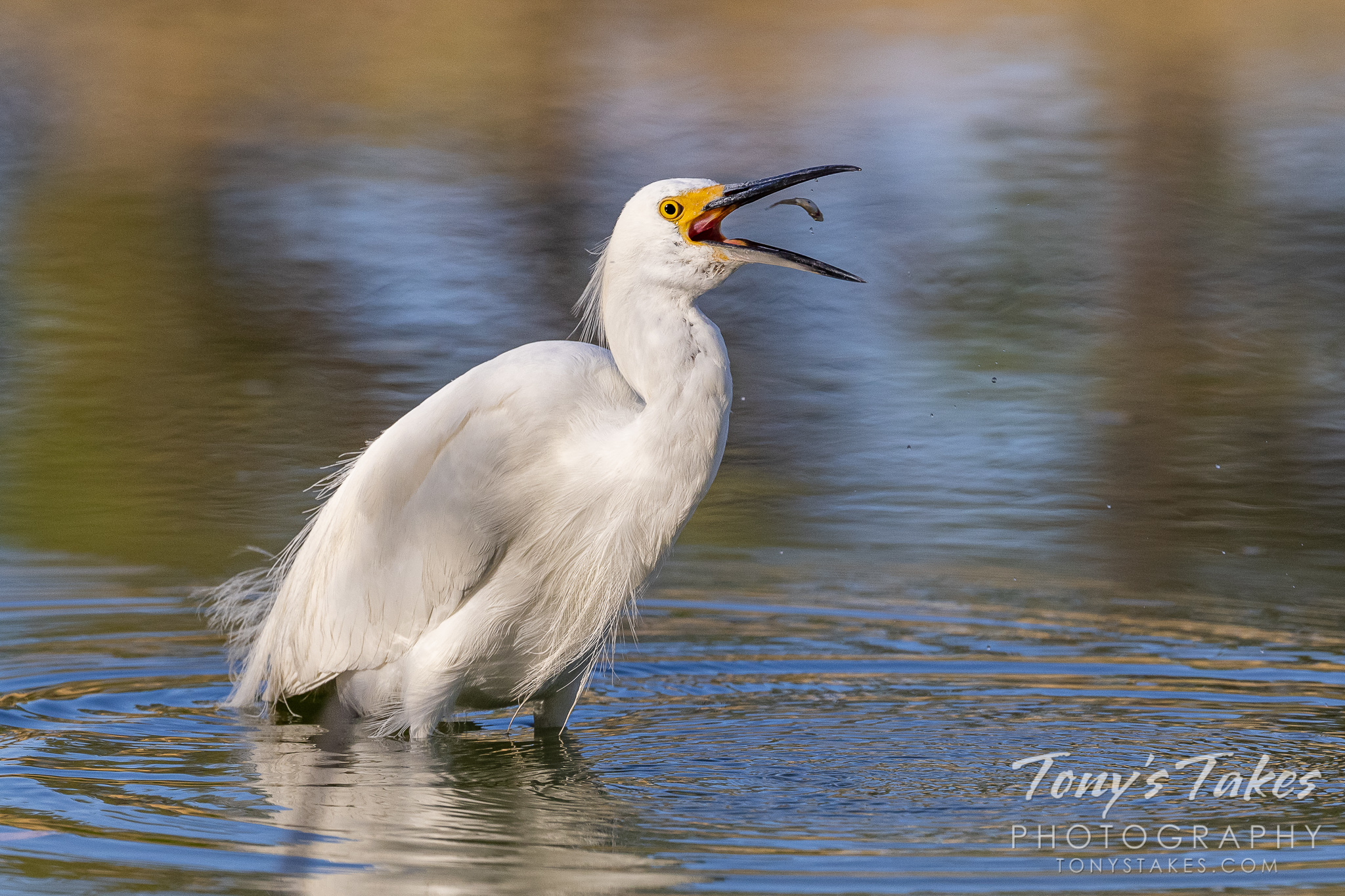 Snowy egret plays with its food. Canon R5, Canon EF 100-400mm f/4.5-5.6L IS II USM @ 330mm, 1/1600, f/8, ISO 1000.
