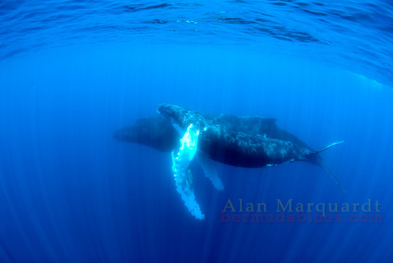 Whales, Bermuda 2009