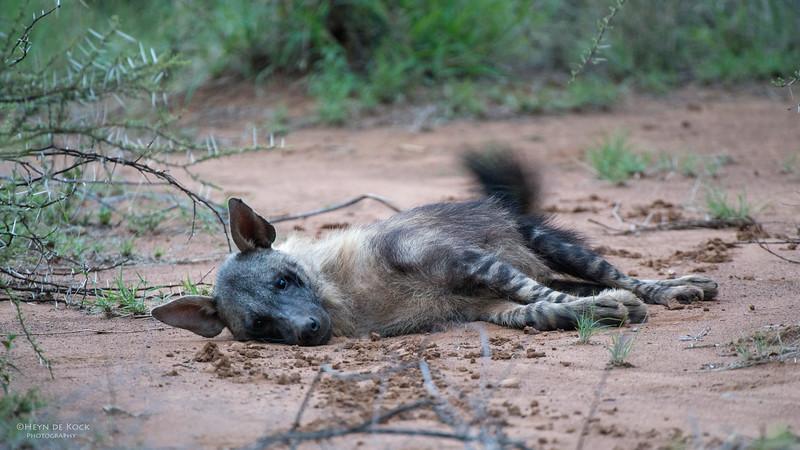 Brown Hyena, Pilansberg National Park, SA, Dec 2013-2.jpg