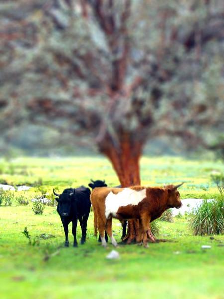 cows-tiltshift.jpg