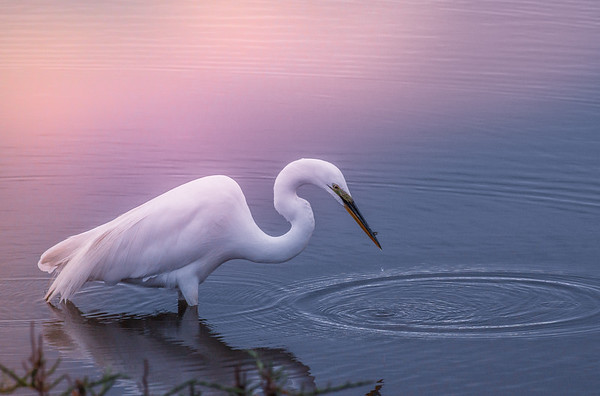 early egret