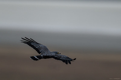 Klatrehauk (African harrier-hawk)