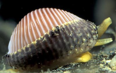 Guernsey gastropods