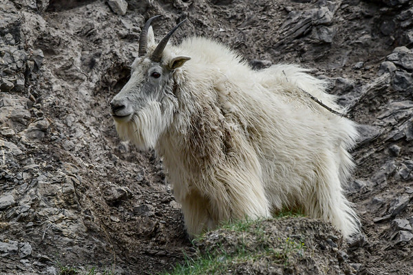 6-3-19 Moountain Goat - Male - Jasper Ab