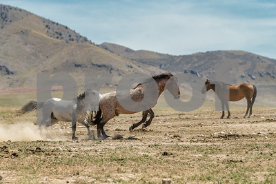 6/17/18 Wild Horse Photo Shoot - Onaqui Mountain Herd Management Area by Don Spivey