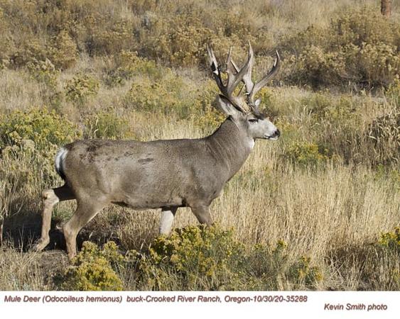 Mule Deer Buck M35288.jpg