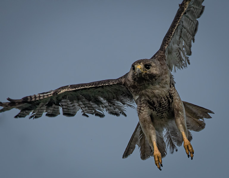 _5002122 Red-Tail Hawk Scrappy wings out.jpg