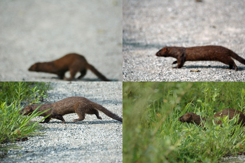 Mink - I've seen wild mink three times. This was the only time I was able to get documentation. Location = Shaw Nature Reserve Wetland Trail