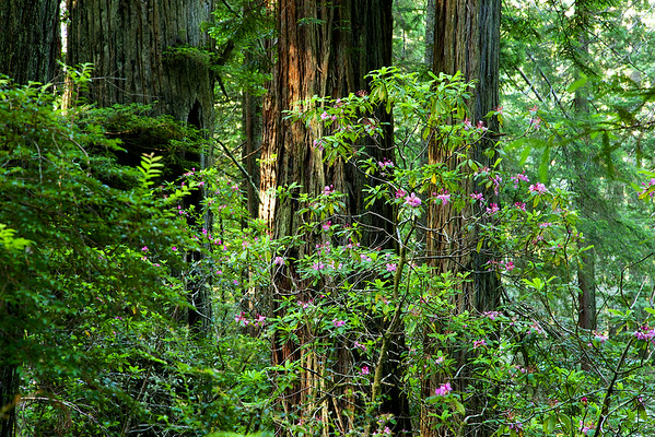 Redwoods and Rhododendron - June 28, 2014