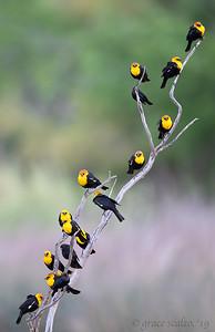Yellow-headed Blackbirds