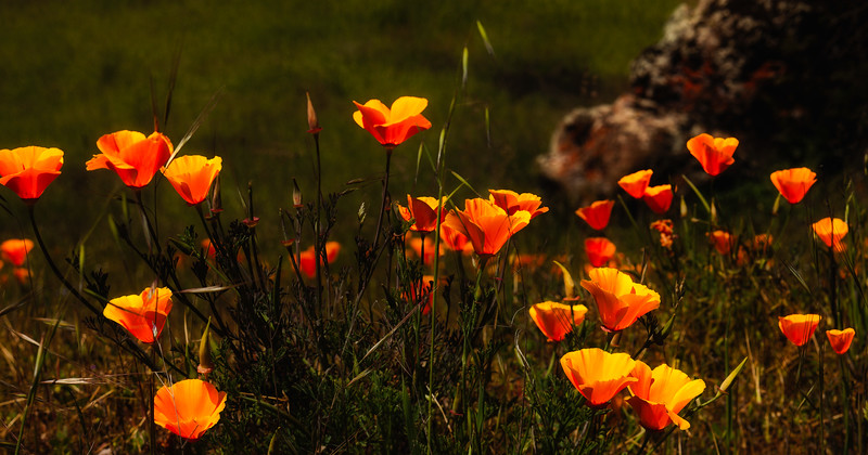 Poppies 3, Henry Coe State Park, California, 2010