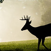White-tailed deer buck on foggy morning