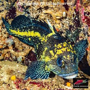 Rockfishes: fishes of the genus Sebastes