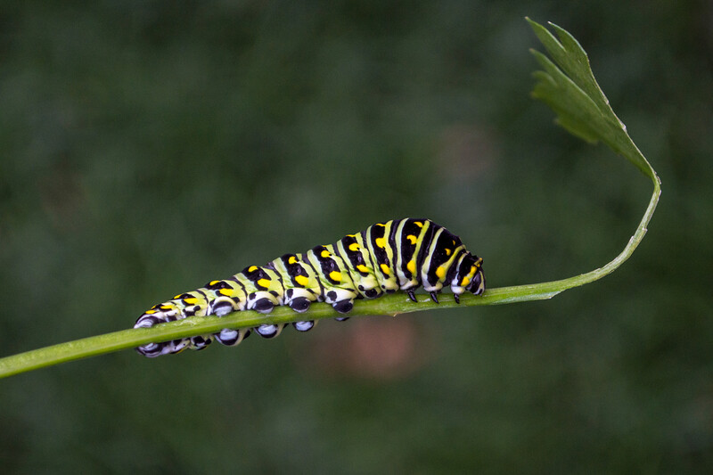black swallowtail worm 2-5515.jpg