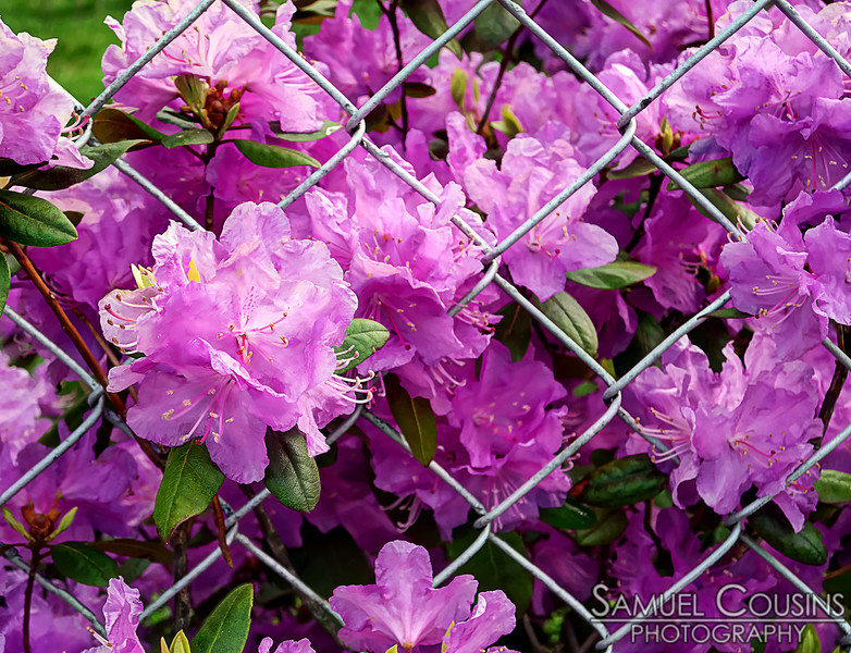 Some flowers growing through a fence.