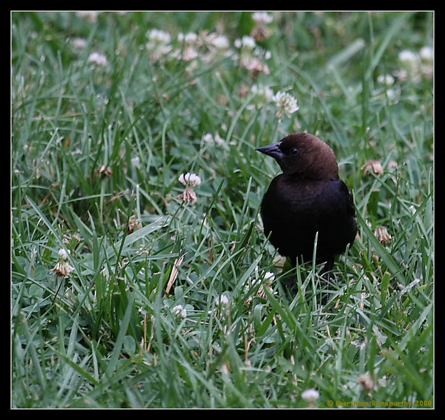 Brown-headed cowbird Male, Mason Neck State Park, Virginia, June 2008