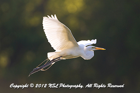 Great Egret in flight at the John Heinz National Wildlife Refuge, photo by NSL Photography