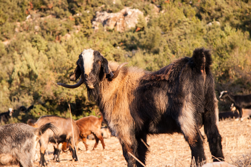 Grazing goats in the Taurus mountains