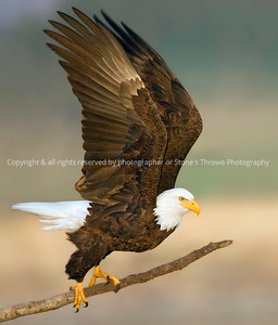 022-bald_eagle_male_flt-nlg-24jan07-2054