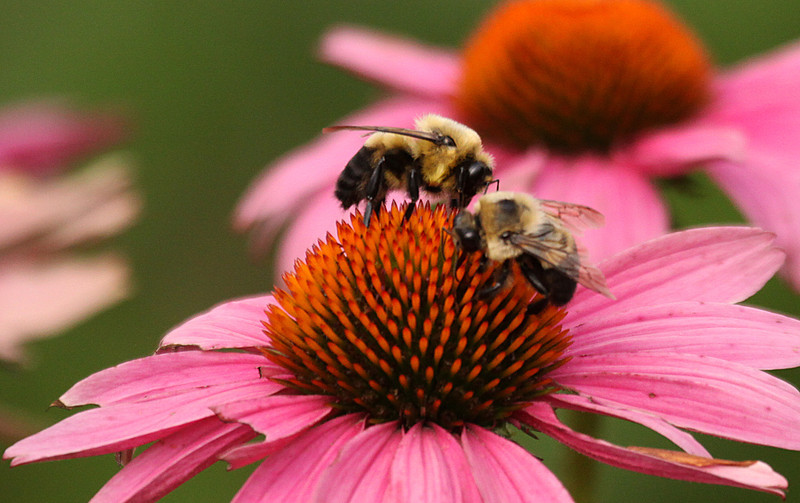BEES ON A PINK FLOWER