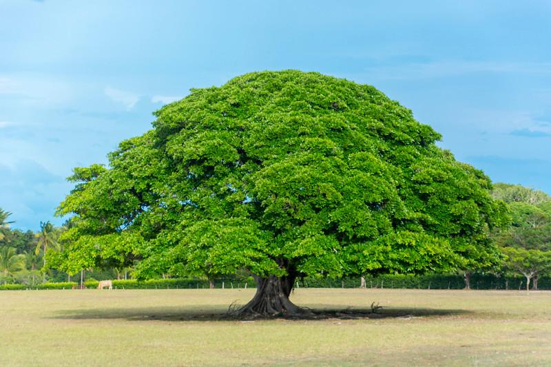 Costa Rica_Tree_Guanacoste-1.jpg