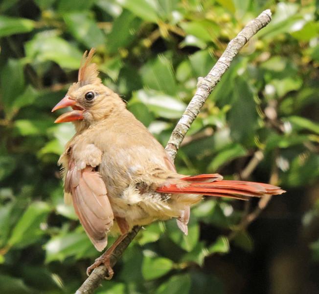 Cardinal 31
