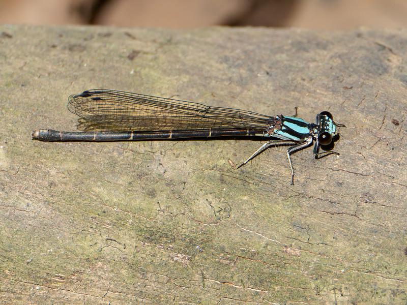 Blue-tipped Dancer (Argia tibialis), Blue Form Female