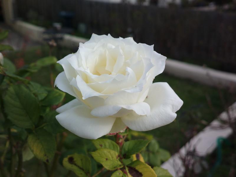 20150615_1335_0567 rose