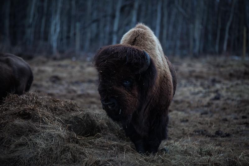 AHP171212_buffalo1420.jpg