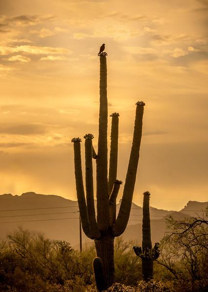 I-11 - Harris's Hawk on Saguaro #1