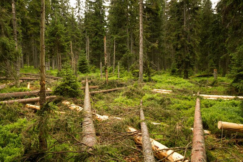 Člověčí obnova lesa.