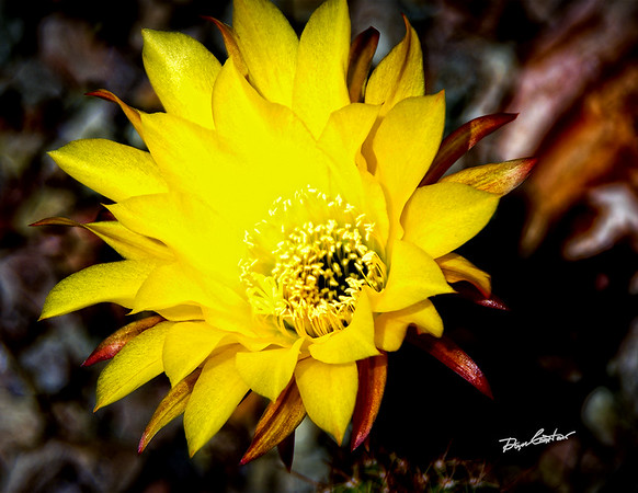 2015 Arizona Wildflowers