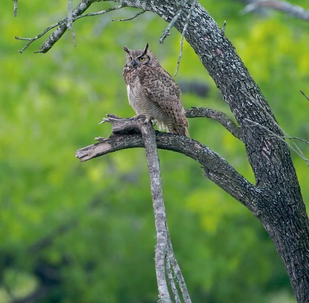 Great Horned Owls are as comfortable in the North as they are in Texas where this one was photographed [April; Sick Dog Ranch near Alice, Texas]