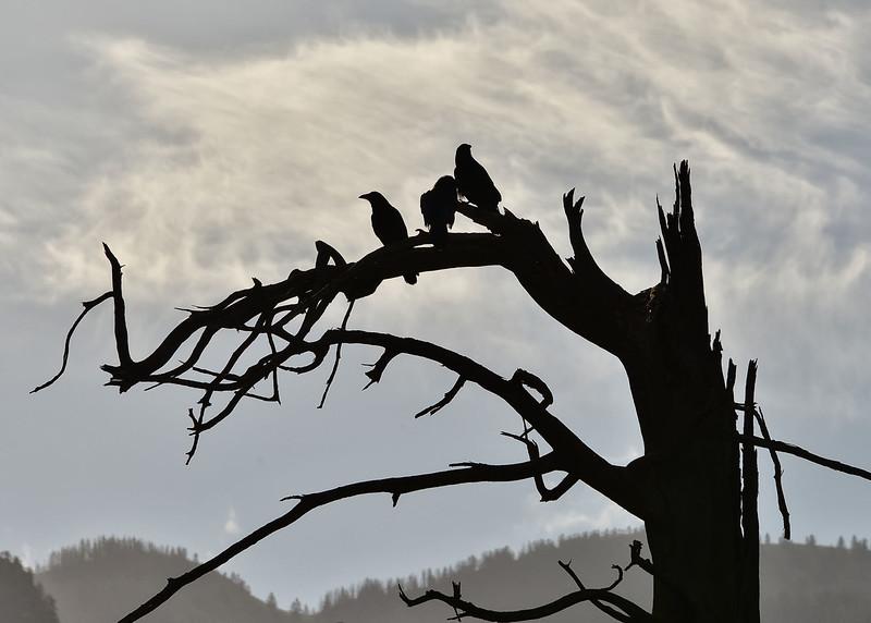 NEA_0423-7x5-Ravens.jpg