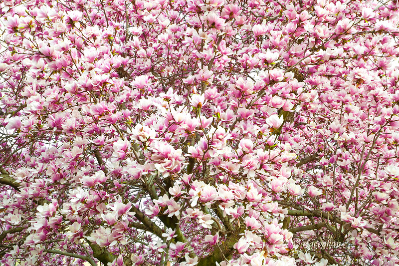 Mar 22_Pink Magnolia Tree_0281.jpg